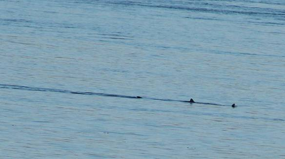 Basking Shark in Bunna Bay