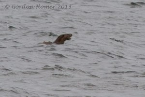 Otter 9