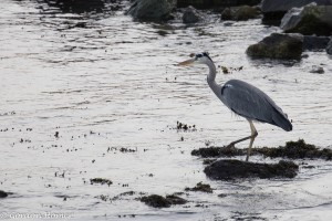 Heron at Bruichladdich