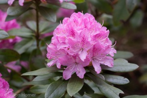 An early flowering rhododendron