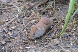 mouse_wallington