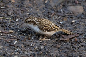 treecreeper_wallington